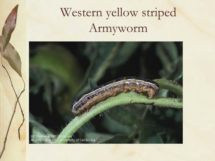 Western yellow striped  Armyworm
