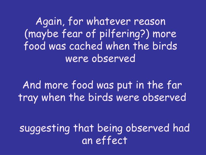 Again, for whatever reason (maybe fear of pilfering?) more food was cached when the birds were observed