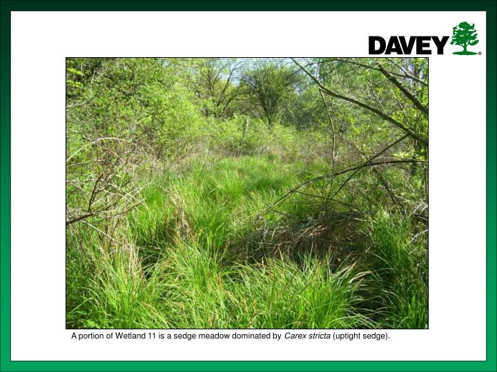 A portion of Wetland 11 is a sedge meadow dominated by