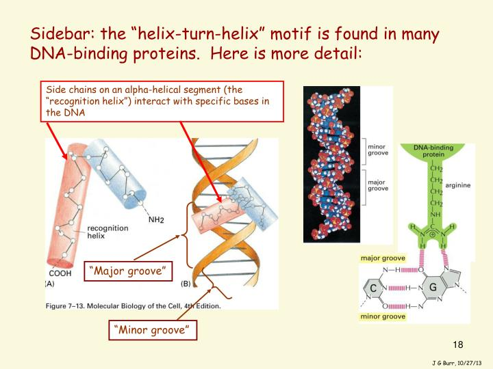 "Sidebar: the ""helix-turn-helix"" motif is found in many DNA-binding proteins.  Here is more detail:"
