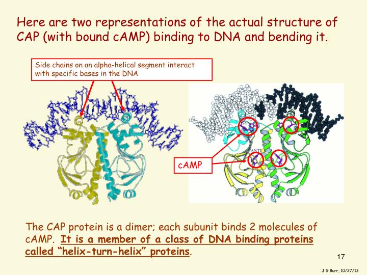 Here are two representations of the actual structure of CAP (with bound cAMP) binding to DNA and bending it.