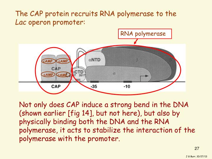 Not only does CAP induce a strong bend in the DNA (shown earlier [fig 14], but not here), but also by physically binding both the DNA and the RNA polymerase, it acts to stabilize the interaction of the polymerase with the promoter.