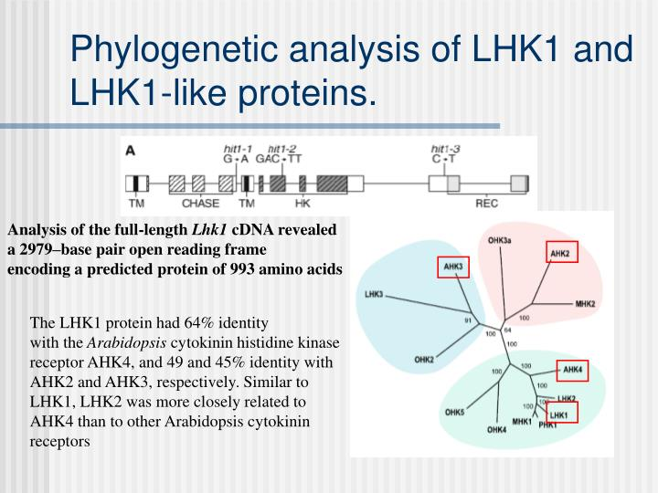 Phylogenetic analysis of LHK1 and LHK1-like proteins.