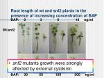root length of wt and snf2 plants in the presence of increasing concentration of bap