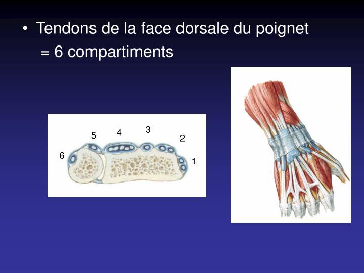 Tendons de la face dorsale du poignet