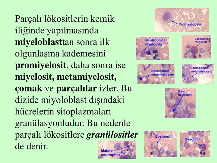 Parçalı lökositlerin kemik iliğinde yapılmasında