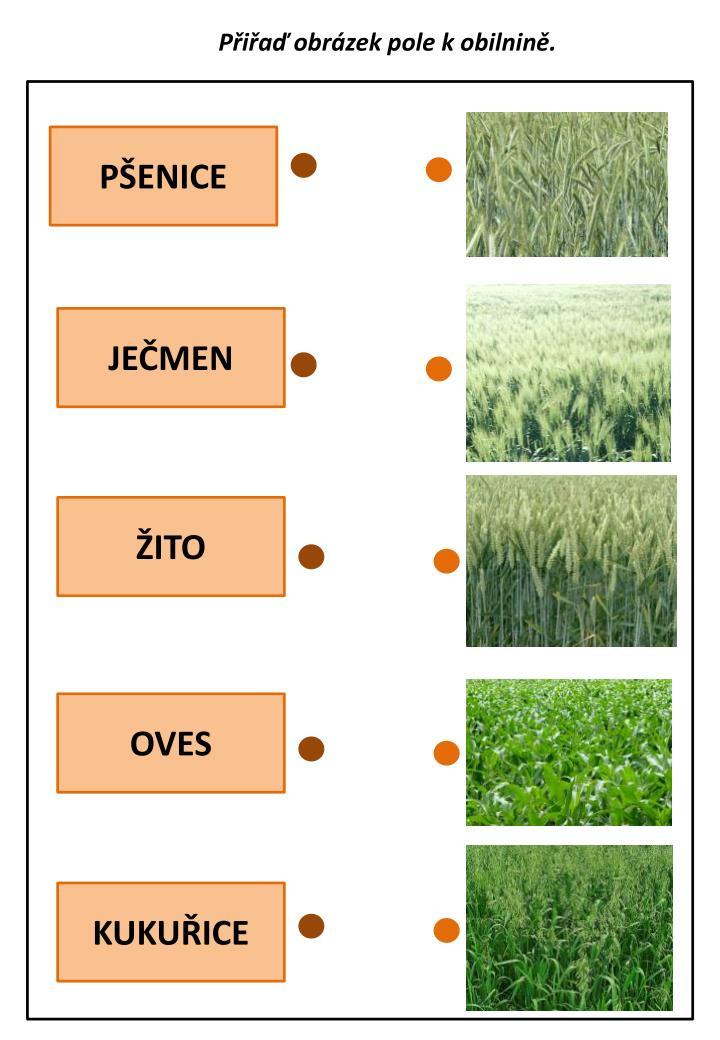 Přiřaď obrázek pole k obilnině.