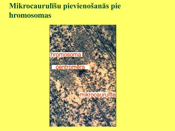 Mikrocaurulīšu pievienošanās pie hromosomas