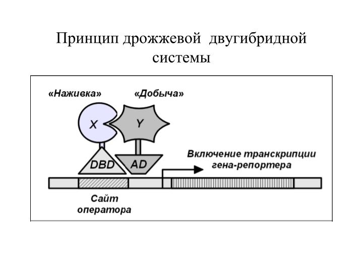 Принцип дрожжевой  двугибридной системы