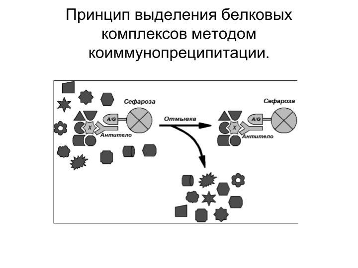 Принцип выделения белковых комплексов методом коиммунопреципитации