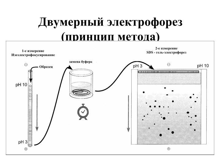 Двумерный электрофорез (принцип метода)
