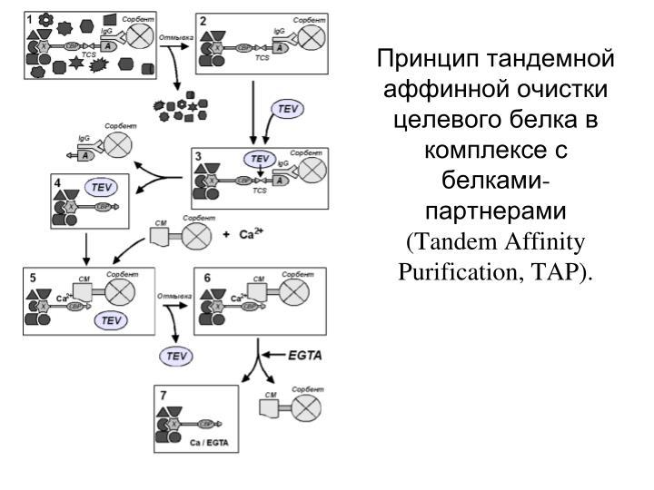 Принцип тандемной аффинной очистки целевого белка в комплексе с белками