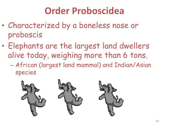 Order Proboscidea