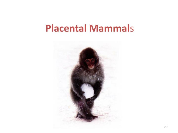 Placental Mammal
