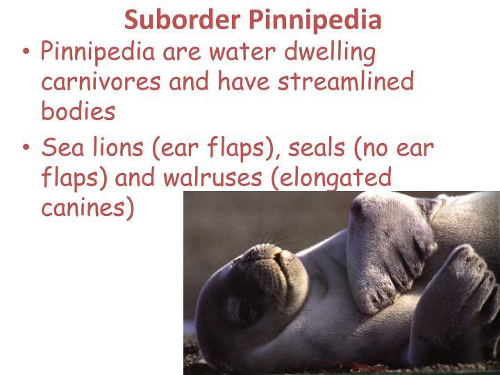 Suborder Pinnipedia
