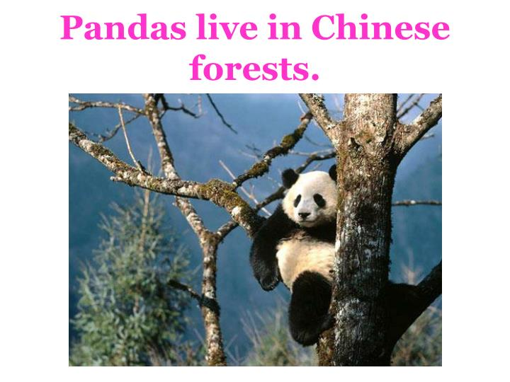 Pandas live in Chinese forests.