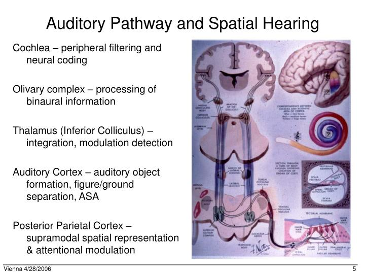 Auditory Pathway and Spatial Hearing
