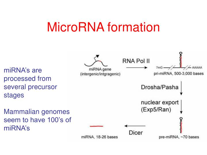 MicroRNA formation