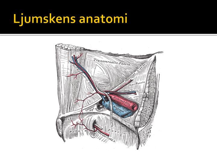Ljumskens anatomi