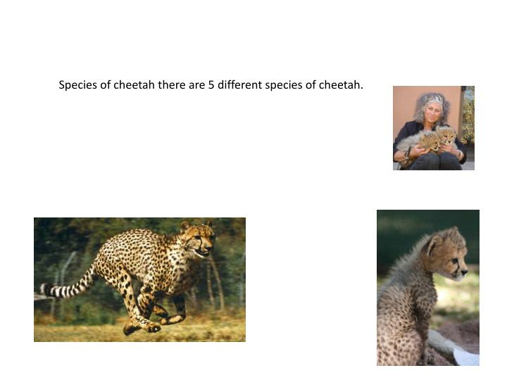 Species of cheetah there are 5 different species of cheetah.