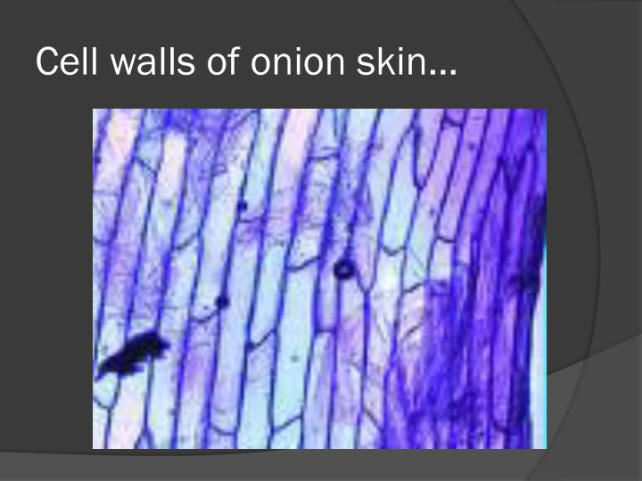 Cell walls of onion skin…