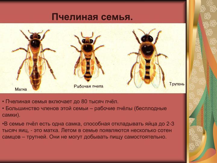 Пчелиная семья.