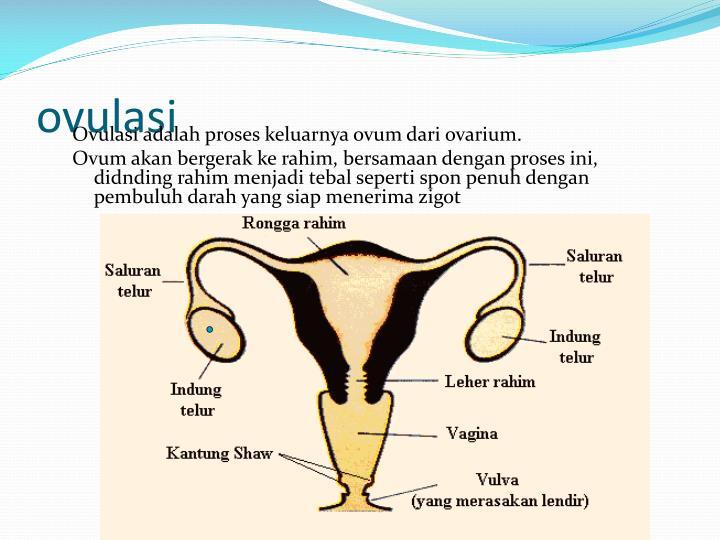 ovulasi
