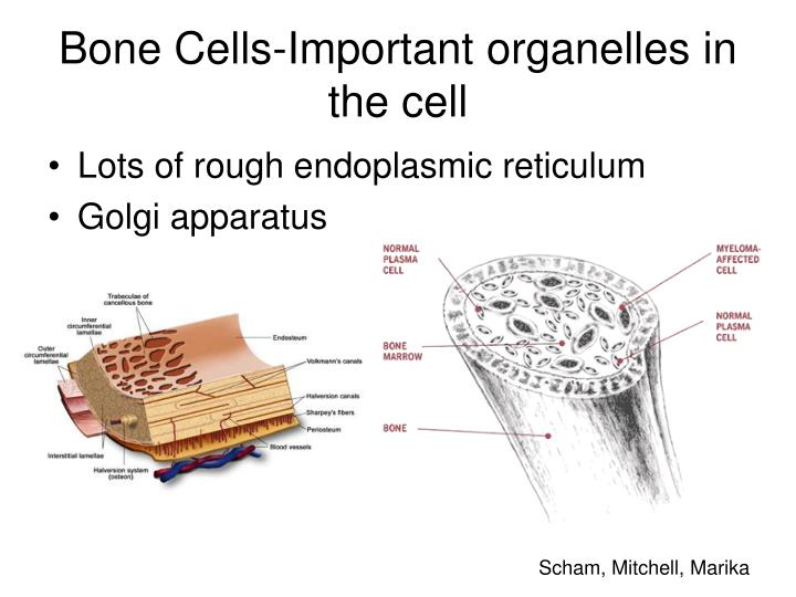 Bone Cells-Important organelles in the cell