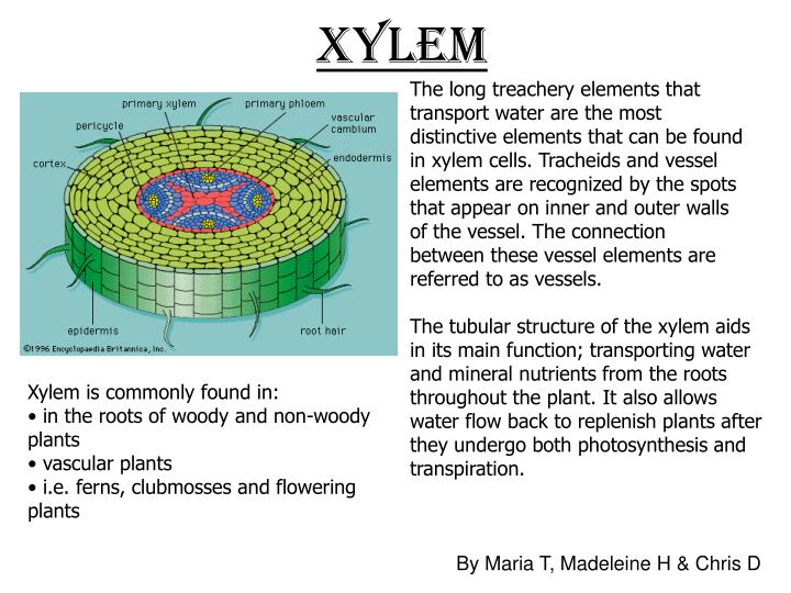 The long treachery elements that transport water are the most distinctive elements that can be found in xylem cells. Tracheids and vessel elements are recognized by the spots that appear on inner and outer walls of the vessel. The connection between these vessel elements are referred to as vessels.