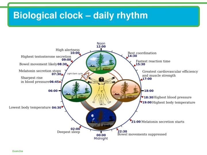 Biological clock – daily rhythm