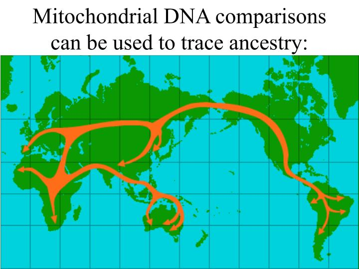 Mitochondrial DNA comparisons can be used to trace ancestry: