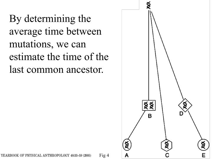 By determining the average time between mutations, we can estimate the time of the last common ancestor.
