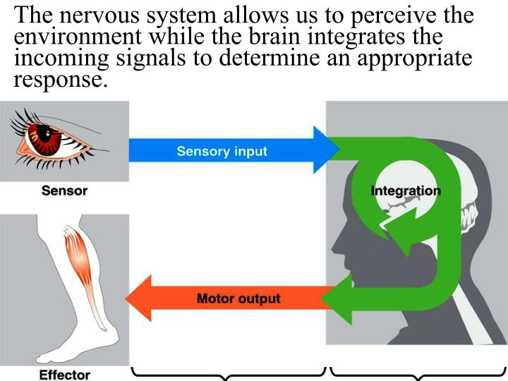 The nervous system allows us to perceive the environment while the brain integrates the incoming signals to determine an appropriate response.