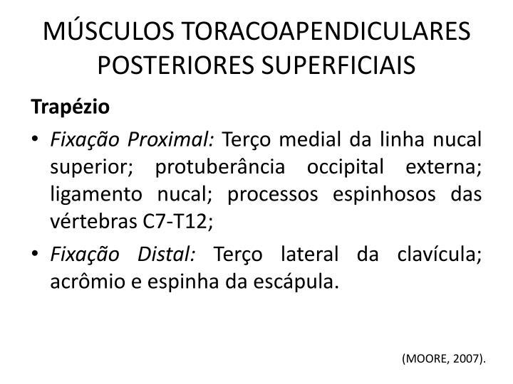MÚSCULOS TORACOAPENDICULARES POSTERIORES SUPERFICIAIS