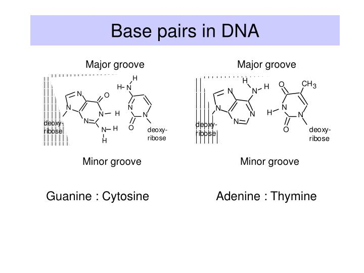 Base pairs in DNA