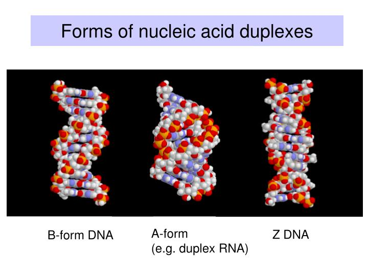 Forms of nucleic acid duplexes