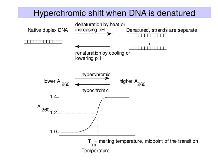 Hyperchromic shift when DNA is denatured