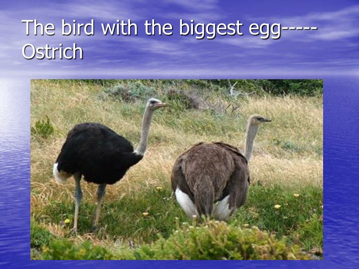 The bird with the biggest egg----- Ostrich