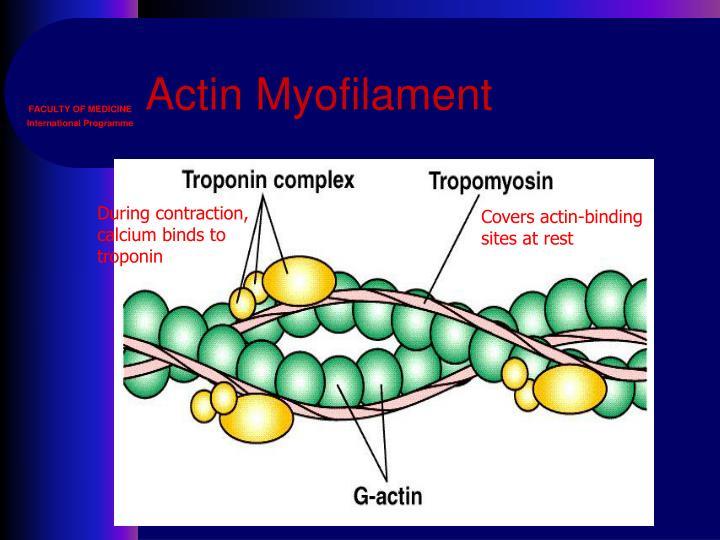 Actin Myofilament