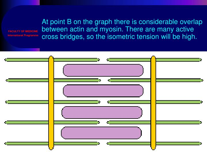 At point B on the graph there is considerable overlap between actin and myosin. There are many active cross bridges, so the isometric tension will be high.