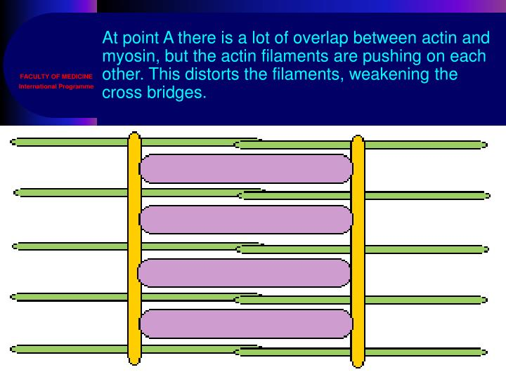 At point A there is a lot of overlap between actin and myosin, but the actin filaments are pushing on each other. This distorts the filaments, weakening the cross bridges.