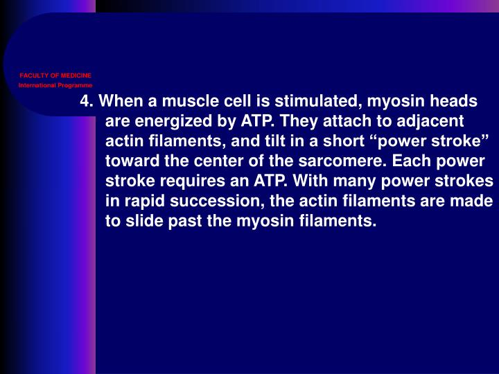 """4. When a muscle cell is stimulated, myosin heads are energized by ATP. They attach to adjacent actin filaments, and tilt in a short """"power stroke"""" toward the center of the sarcomere. Each power stroke requires an ATP. With many power strokes in rapid succession, the actin filaments are made to slide past the myosin filaments."""