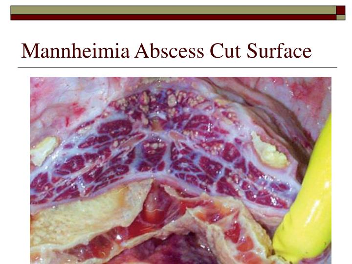 Mannheimia Abscess Cut Surface