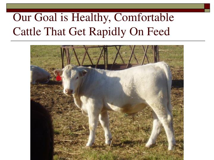 Our Goal is Healthy, Comfortable Cattle That Get Rapidly On Feed