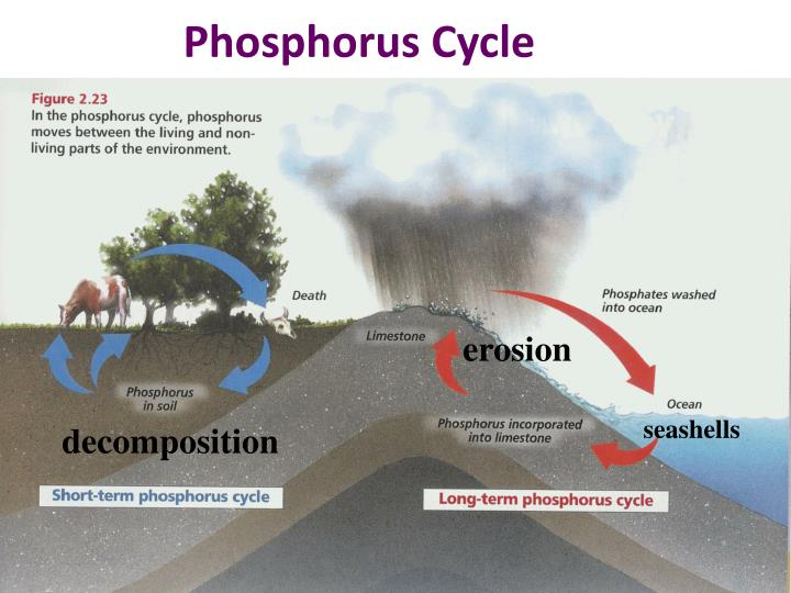 Phosphorus Cycle