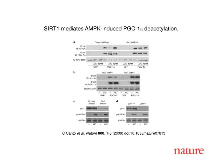 SIRT1 mediates AMPK-induced PGC-1