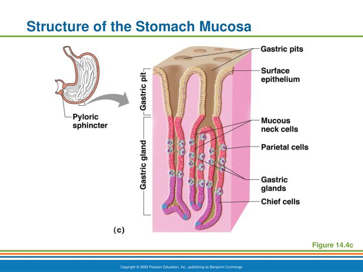 Structure of the Stomach Mucosa