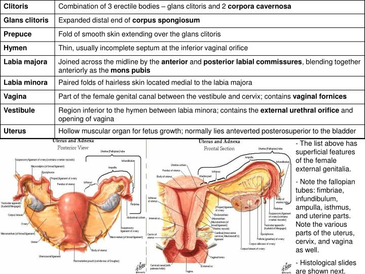 The list above has superficial features of the female external genitalia.