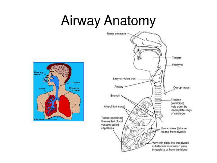 Airway Anatomy