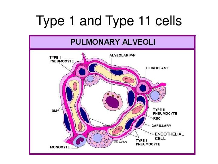 Type 1 and Type 11 cells